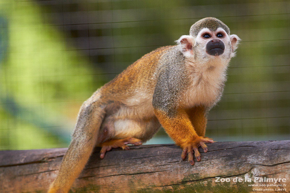 how to draw a squirrel monkey
